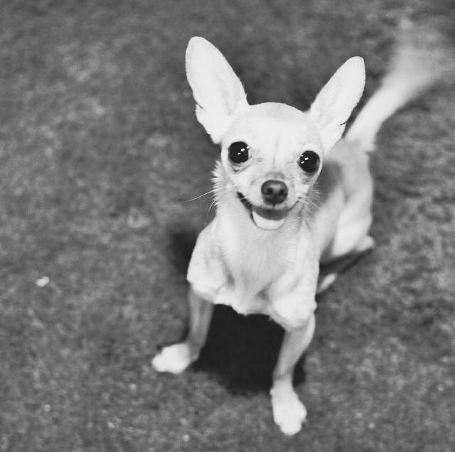 burcu ozcan chihuahua_mira mira burcu özcan köpek bakımı bugun ne giysem