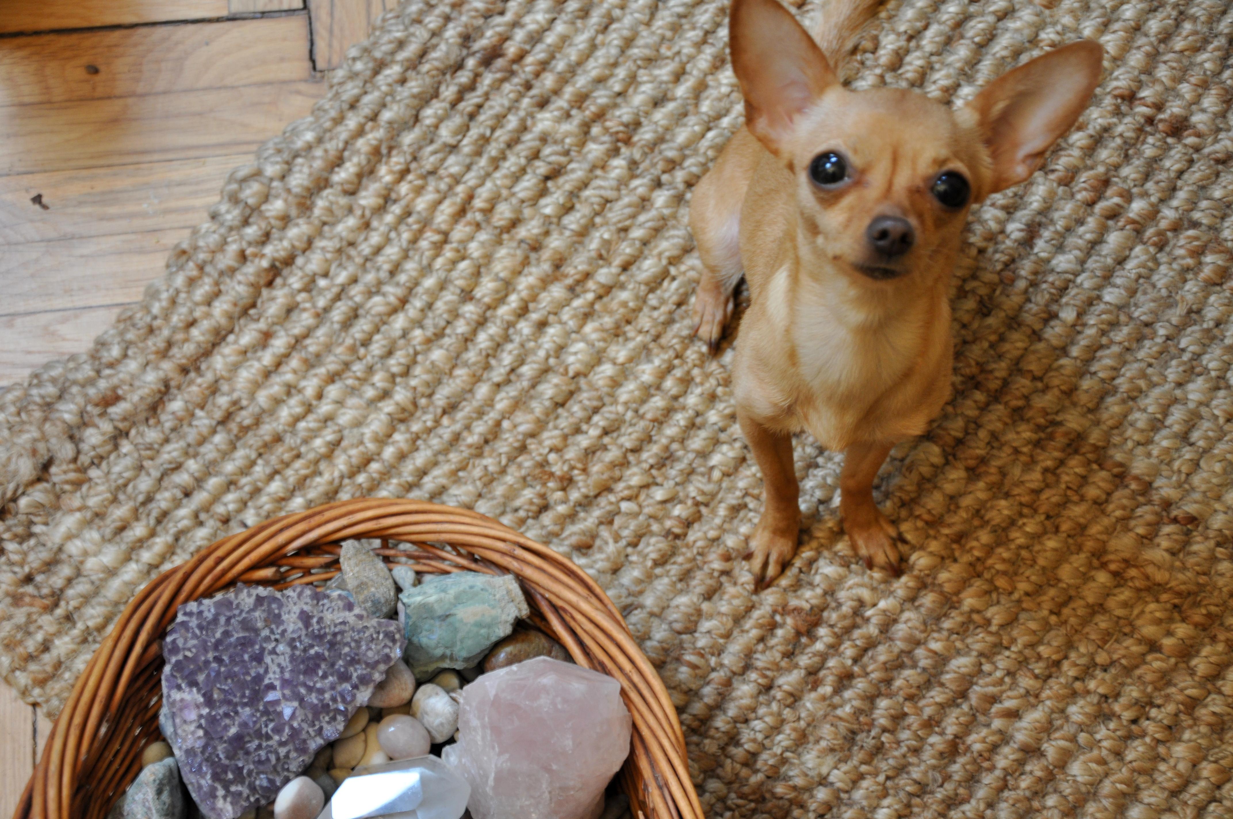 misafirlik köpegimle misafirlikteyim ne yapmalıyım burcu ozcan chihuahua mira 3