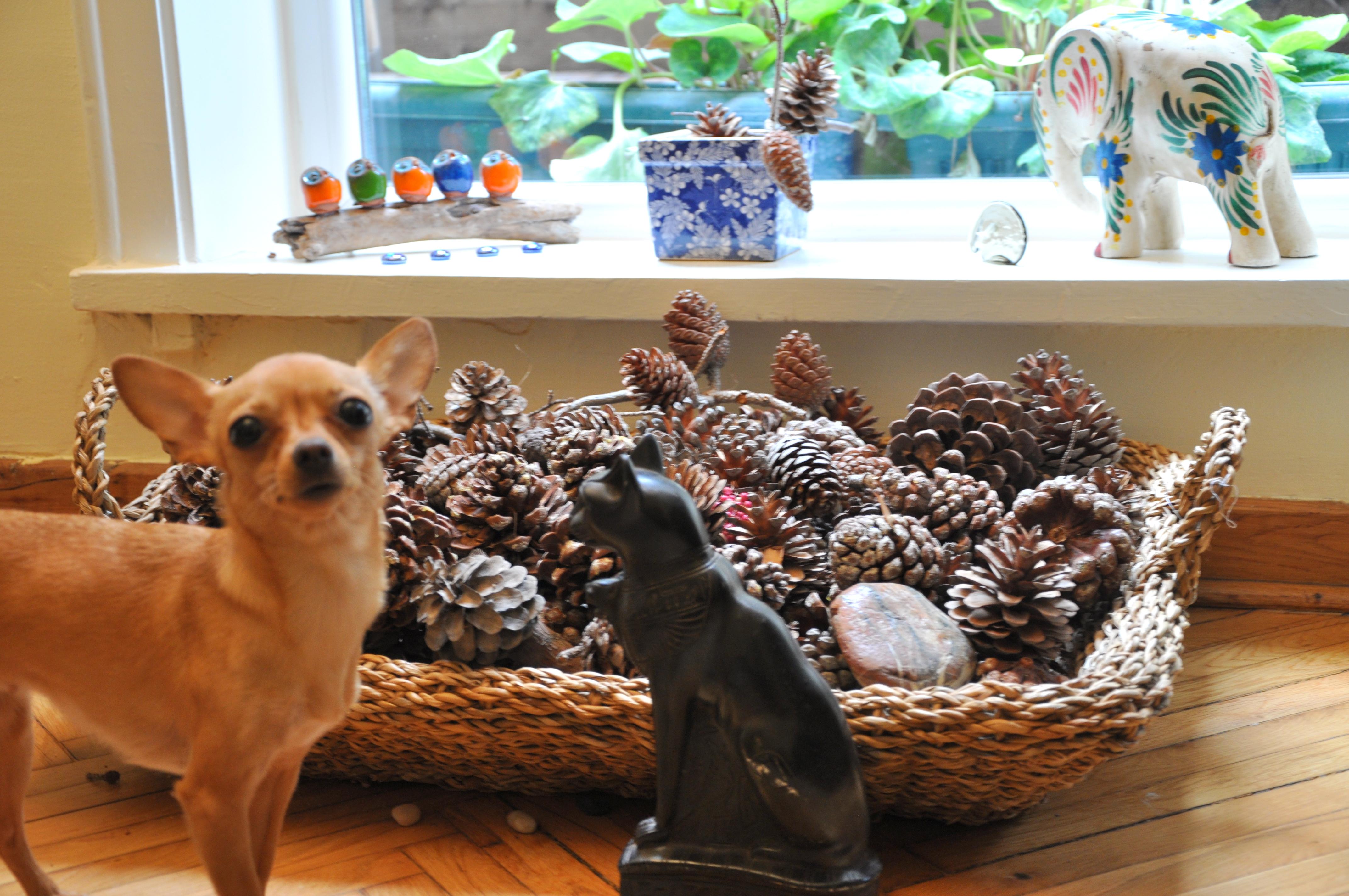 misafirlik köpegimle misafirlikteyim ne yapmalıyım burcu ozcan chihuahua mira 6