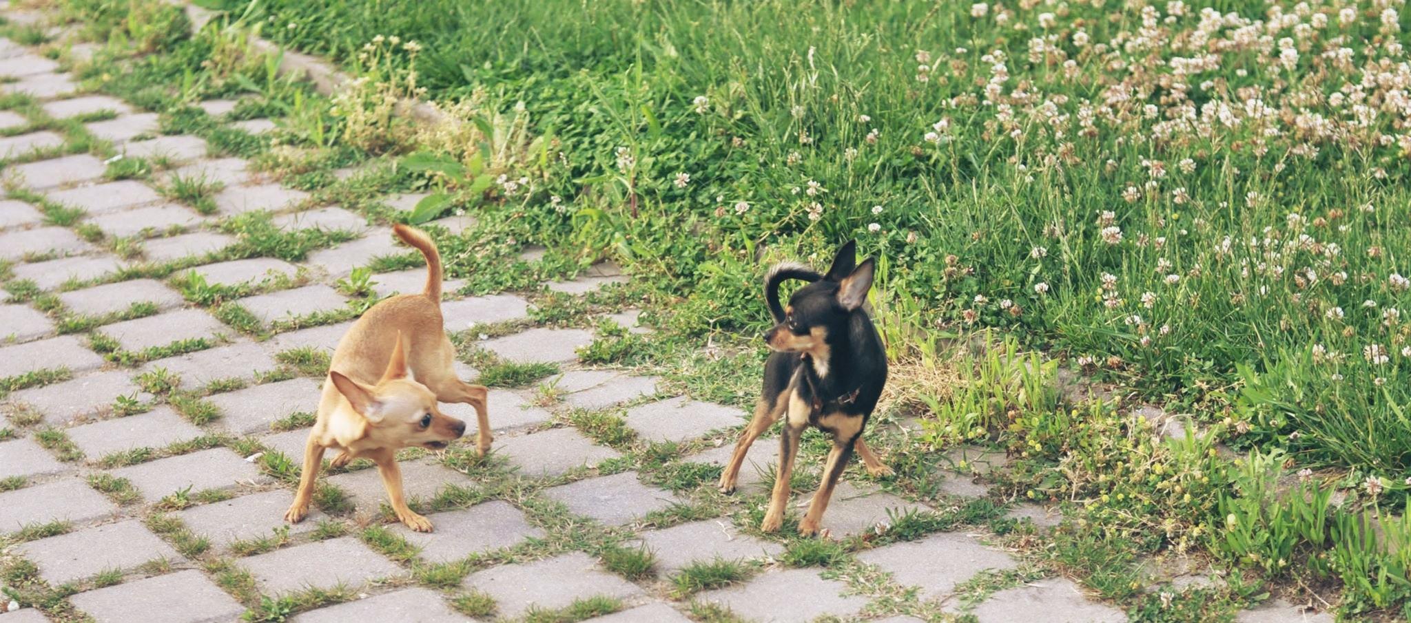 chihuahuaların sosyallesmesi-chihuahua-bakimi-mira-burcu-ozcan-socializing-chihuahua-dog-dear-bonie (17)
