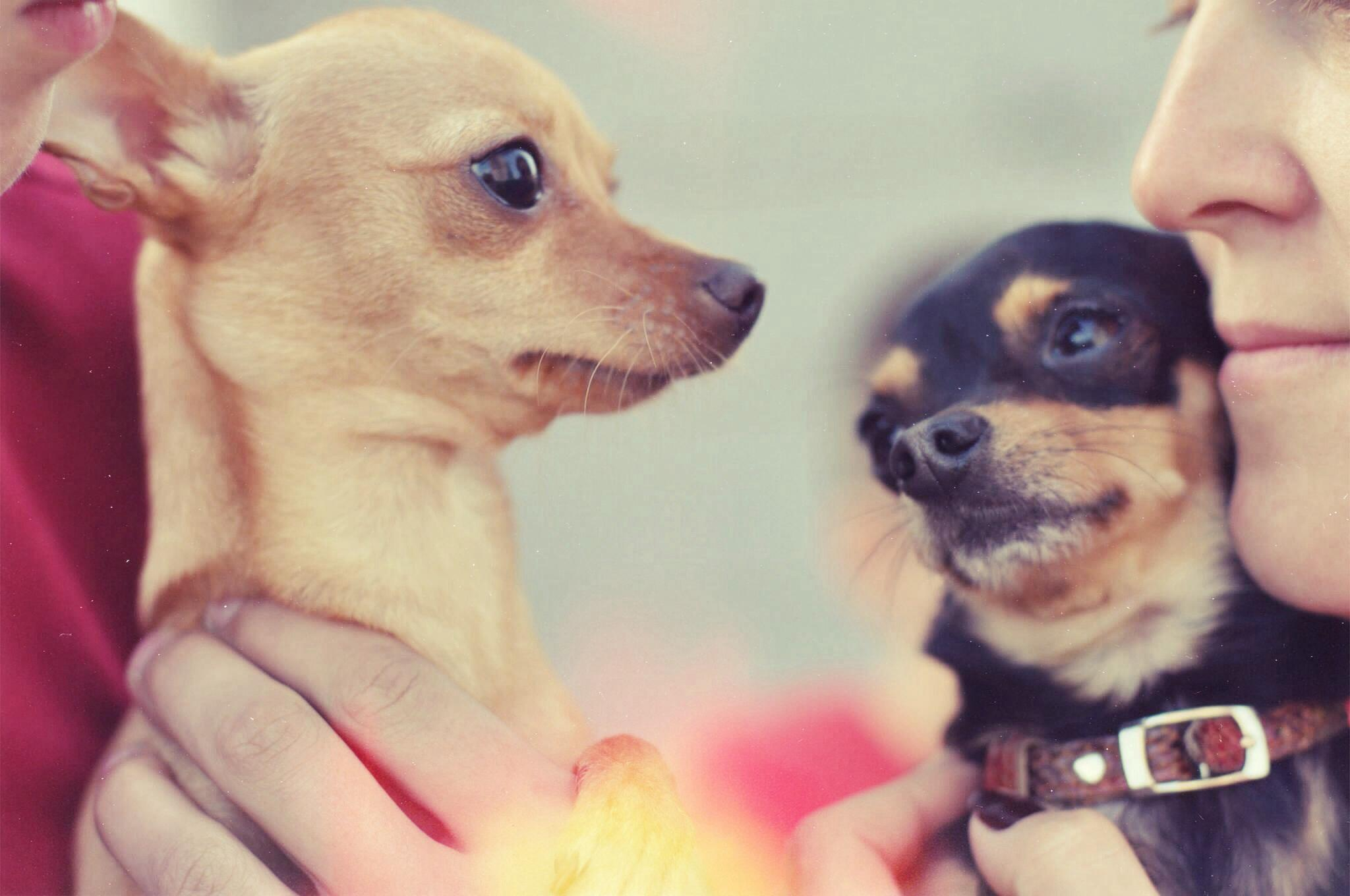 chihuahuaların sosyallestirilmesi-chihuahua-bakimi-mira-burcu-ozcan-socializing-chihuahua-dog-dear-bonie (11)