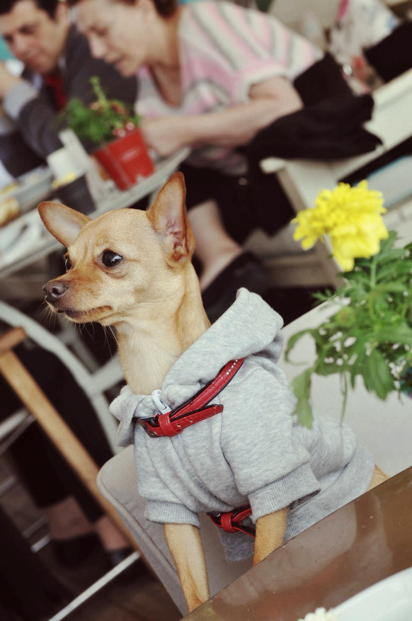 kopek girebilir, assk kahve-burcu-ozcan-assk-kahve-asskcafe-kurucesme-wuufbox-zarabasic-chihuahua_mira (5)