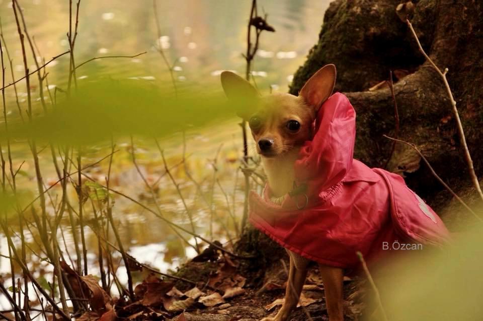 yedigoller_bolu_chihuahua_mira_fotografcilik_burcu_ozcan_yedigoller_gezisi(13)